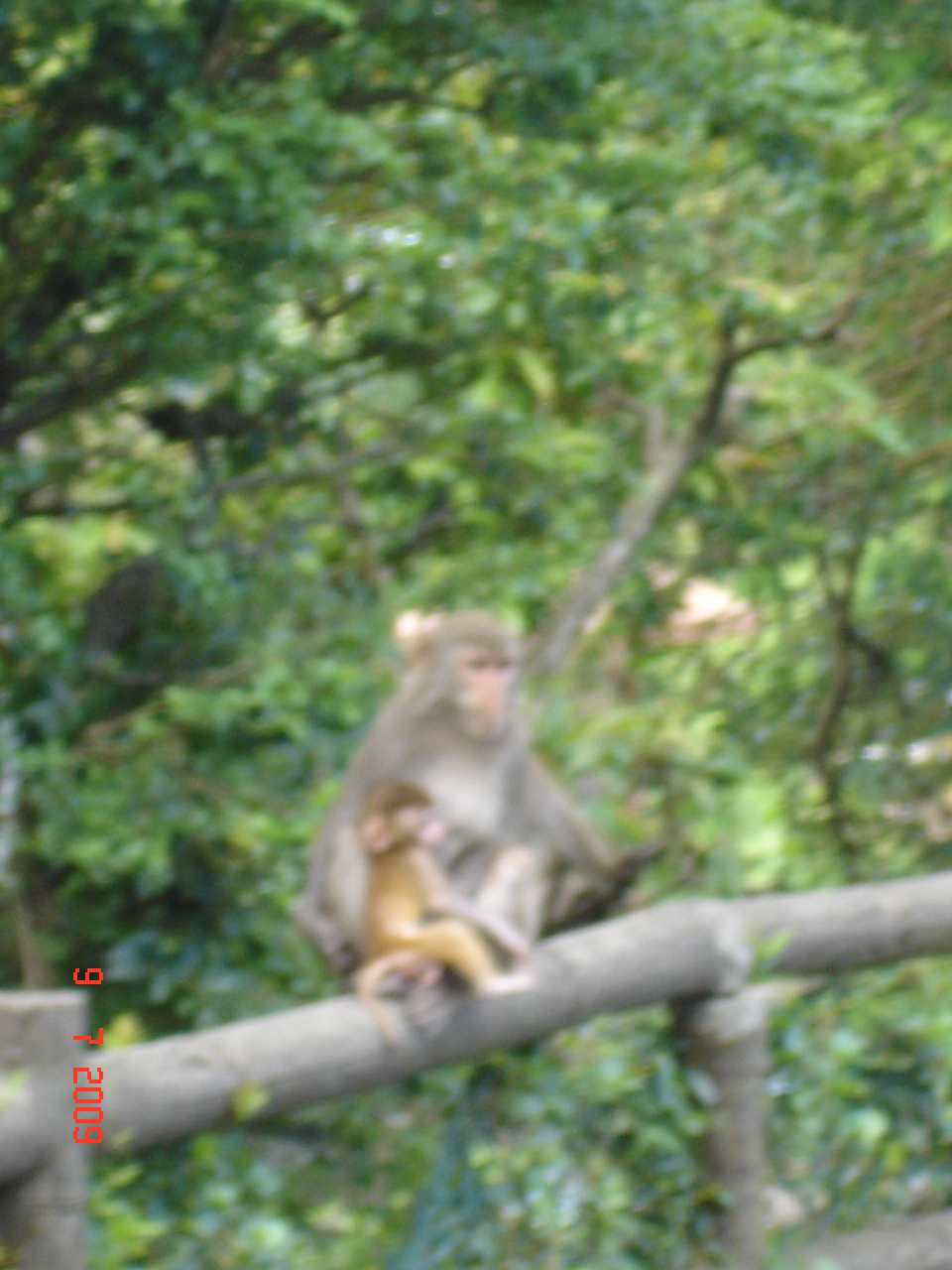Golden Baby Monkey 3 (2)